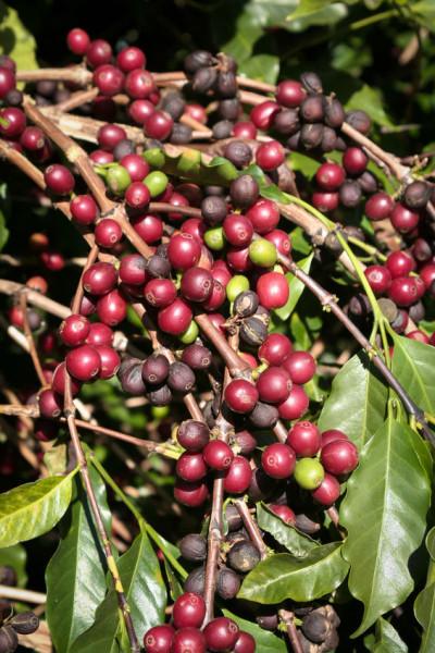 rote-Kaffeefruechte-Brasilien